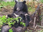 Продаём двух уссурийских белогрудых (гималайских) медведей