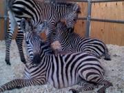 Продаем зебр из питомника